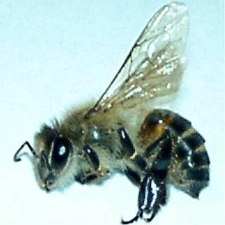 ミツバチの画像 p1_15