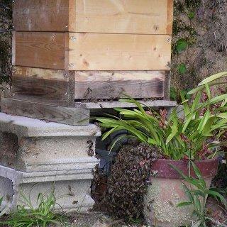 日本ミツバチの分蜂群の飛来と金稜辺への集結