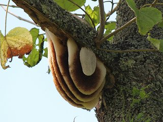日本ミツバチの開放巣の写真