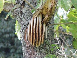 日本ミツバチの開放巣(横から見た写真)