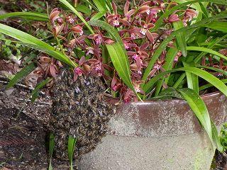 分蜂群が集結した金稜辺の花