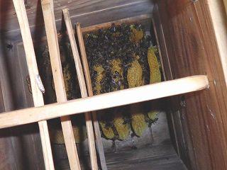 日本ミツバチの逃去前の写真
