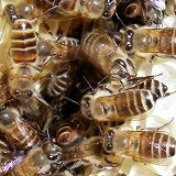 Fan-like behavior of Japanese honeybees